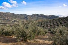 Ekologisk odling av olivträd i landskapet av Jaen royaltyfri fotografi