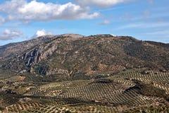 Ekologisk odling av olivträd i landskapet av Jaen Arkivfoto