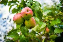 Ekologiska äpplen Arkivbild