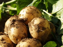 ekologiska potatisar royaltyfri foto