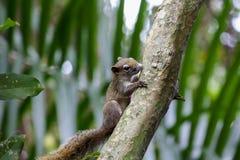 Ekorrar klättrar träd Ett däggdjurs- litet format arkivfoto