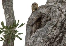 Ekorre över ett träd royaltyfri bild