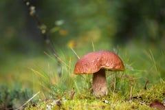 ekorre för skog s för boletusbröd edulis Fotografering för Bildbyråer
