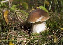 ekorre för skog s för boletusbröd edulis Royaltyfri Fotografi
