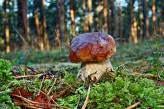 ekorre för skog s för boletusbröd edulis Arkivfoton