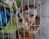 Ekorre i buren Fotografering för Bildbyråer