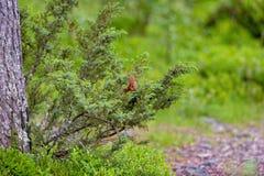 Ekorre i buskage Fotografering för Bildbyråer