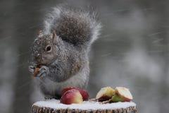 Ekorre i en häftig snöstorm Fotografering för Bildbyråer