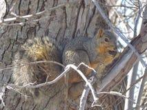 Ekorre i en tree fotografering för bildbyråer
