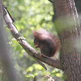 Ekorre i ett träd arkivbild