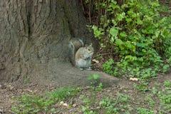 Ekorre i parkera med trädet Arkivfoto
