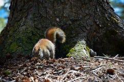 Ekorre i skog Fotografering för Bildbyråer