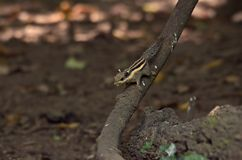 Ekorre i skog royaltyfri bild