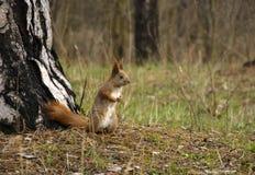 Ekorre i skogen Royaltyfri Fotografi