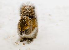 Ekorre i snöstorm Fotografering för Bildbyråer