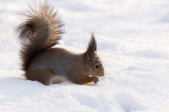 Ekorre i snowen Arkivfoto