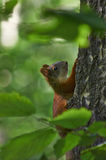 Ekorre i sommarskogen Arkivfoton