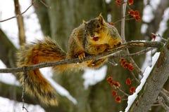 Ekorre i träd med det röda bäret Arkivfoto