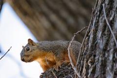 Ekorre i trädet som ser kameran Arkivfoto
