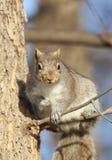 Ekorre i Tree Fotografering för Bildbyråer