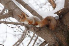 Ekorre i vinter Arkivfoton