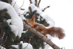 Ekorre i vinter Fotografering för Bildbyråer