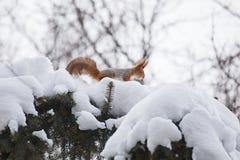 Ekorre i vinter Arkivbild