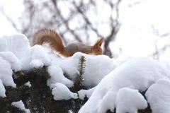 Ekorre i vinter Arkivbilder