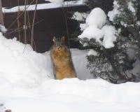 Ekorre i vintern Royaltyfria Foton
