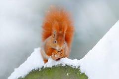 Ekorre med den stora orange svansen Matande plats på trädet Den gulliga orange röda ekorren äter en mutter i vinterplats med snö, Royaltyfri Fotografi