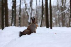 Ekorre med en valnöt i vinterskogen Fotografering för Bildbyråer