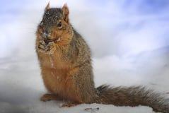Ekorre med fluffig tai som äter en ekollon i snön Royaltyfri Fotografi
