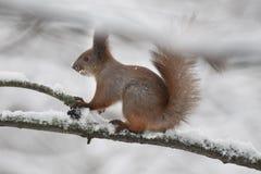 Ekorre med i skogen Fotografering för Bildbyråer