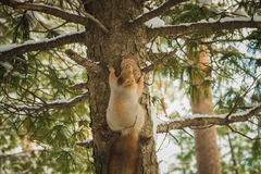 Ekorre med kotten i skogen Royaltyfri Fotografi