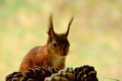 Ekorre och pinecone Fotografering för Bildbyråer