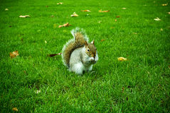Ekorre på det gröna gräset Royaltyfria Bilder