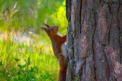 Ekorre på en Tree Arkivbilder