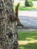Ekorre på en Tree Royaltyfria Bilder