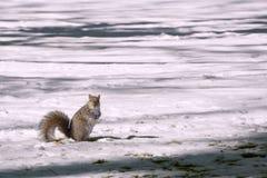 Ekorre på ett snöig fält Fotografering för Bildbyråer