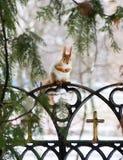 Ekorre på ett staket Royaltyfri Foto