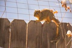 Ekorre på ett staket royaltyfria foton