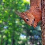 Ekorre på ett träd Royaltyfria Bilder