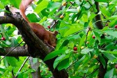 Ekorre på ett träd som äter den röda körsbäret royaltyfri foto