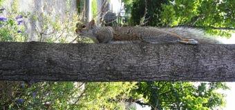 Ekorre på ett träd som ner ser Arkivfoton