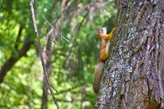 Ekorre på ett träd. Sommar Fotografering för Bildbyråer