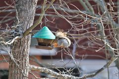 Ekorre på fågelförlagematare Fotografering för Bildbyråer