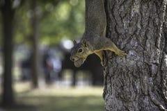 Ekorre på sidan av ett träd med en mutter i hans mun Arkivfoto