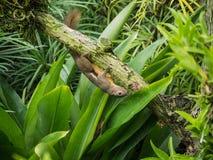 Ekorre på Singapore botaniska trädgårdar Arkivbilder