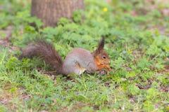 Ekorre på vårgräs Royaltyfri Fotografi
