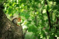 Ekorre p? en Tree royaltyfri bild